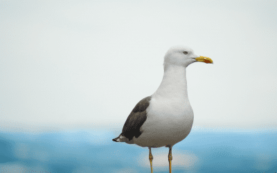 Seagulls A Problem?
